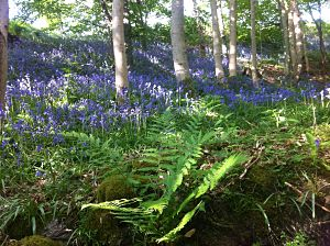 bluebells in woodland near the holiday cottages