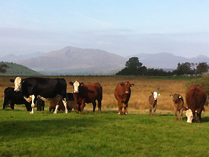 cattle with moel siabod