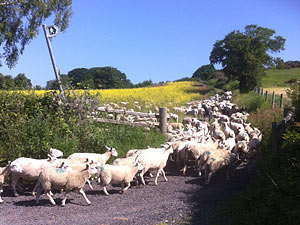 welsh sheep being herded
